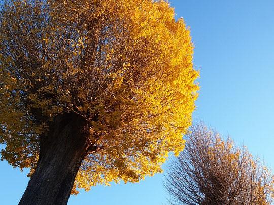 12月20日(2015) 2本のイチョウ:龍源寺(三鷹市)にて。近藤勇のお墓がある龍源寺本堂前には、樹齢300年と推定されるイチョウが対になって立っています。片方はすっかり落葉していましたが、もう1本は、黄葉が朝日に輝いていました