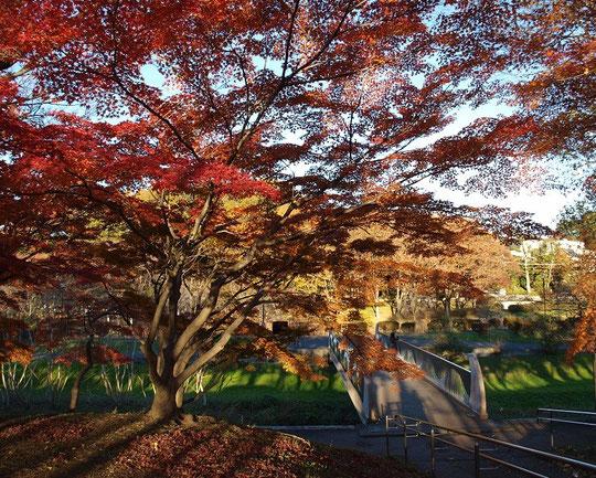 11月27日(2012) 橋とモミジ(やまべ橋:武蔵野公園)