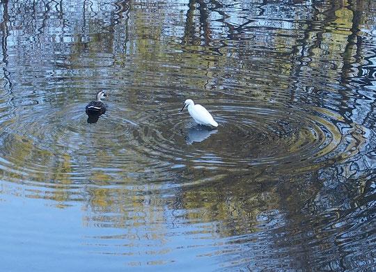 3月30日(2016) コサギとカモのかたらい:春が来て水もゆるみ、コサギとカモがが何かを語り合っているように見えました。3月29日、野川にて