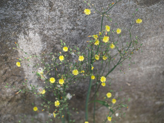 5月7日(2013) マロニエ(とちの木)の苗圃(びょうほ):武蔵野公園には、散歩をしながら木の名前を知ることのできる、静かな場所があります