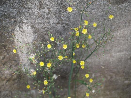 5月12日(2019) 道ばたの花:道ばたの壁に寄り添うように小さな黄色い花が咲いていました。鬼田平子(オニタビラコ)でしょうか。どんな場所でも健気に生きて行く姿に頭が下がります。