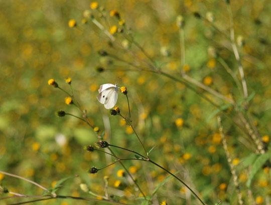 11月1日(2016) 枯れ野にチョウ:初夏にヒメジオンが群生していた場所。空が晴れ、陽がさして色とりどりのチョウが遊んでいました。写真はモンシロチョウ(野川遊歩道にて)。