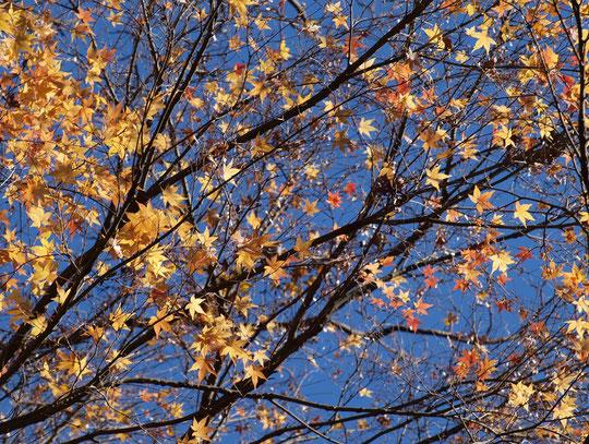 12月17日(2017)冬空にモミジ:木枯らしが吹く日、残り少ないイロハカエデの葉が夜空に光る星のように、梢で輝いていました。