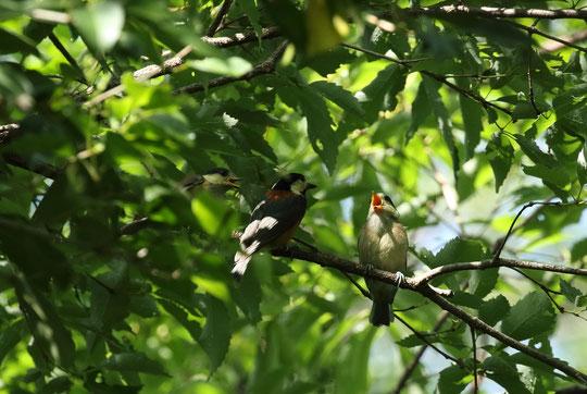 ●ヤマガラの親子です。真ん中にいるのが親鳥のようです。