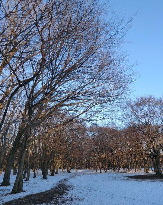 2月6日(2014) 雪の雑木林:野川公園で2月5日に撮影