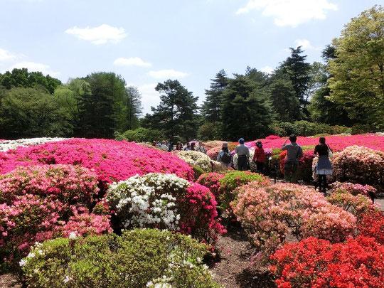 4月26日(2015)クルメツツジの回廊:神代植物公園のつつじ園にて