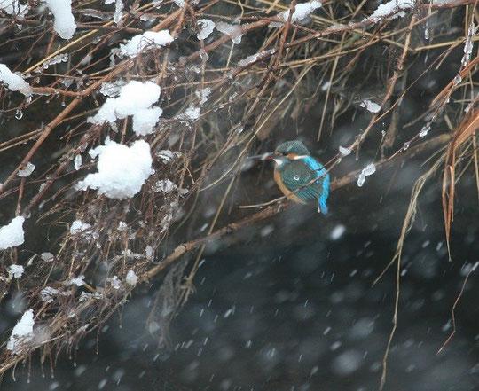●1月は、雪が降る中じっと春を待つカワセミです