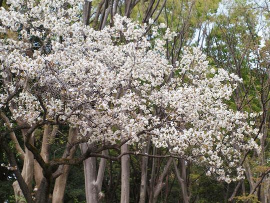 ●スルガダイニオイ(駿河台匂):一重。原木が江戸の駿河台にあった強い芳香がするサクラ。