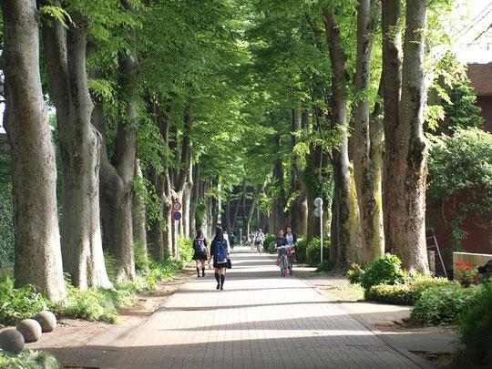 5月8日(2016) 成蹊学園の欅(ケヤキ)並木:通学路として、また市民の生活道路として利用されている道。5月7日、吉祥寺の五日市街道の北方にて
