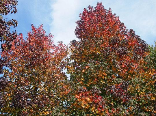 ●モミジバフウの紅葉(京王フローラルガーデン アンジェにて)