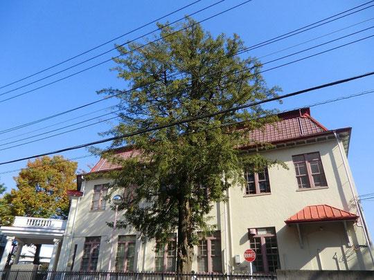11月20日(2013) 街中の木:日本獣医生命科学大学1号棟の横に立つ木(武蔵境通りから)