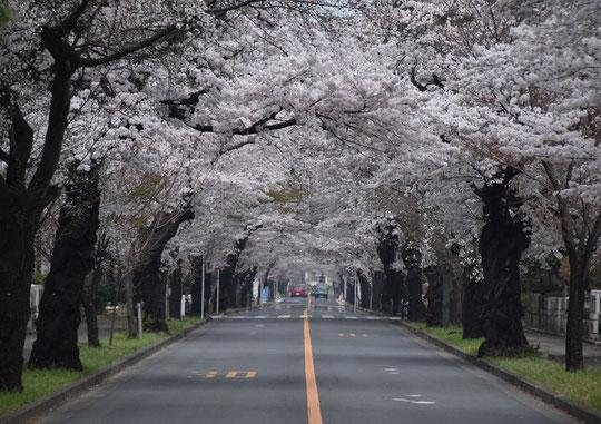 ●多磨霊園の桜(4月1日撮影)