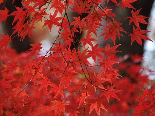 11月28日(2018)真っ赤なイロハモミジ:日本の秋を赤色に染める紅葉の主役、イロハモミジ。深く裂けた葉の形をイロハニホヘトと7つ数えたのが名の由来。野川公園にて