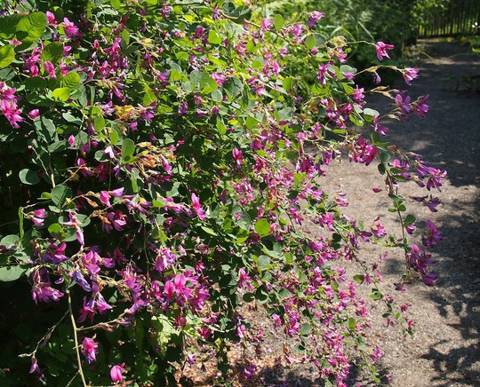 9月15日(2014) 萩(ハギ)の咲く道:9月13日に調布市野草園で撮影。草かんむりに秋と書いて萩。秋の七草のひとつ。マメ科