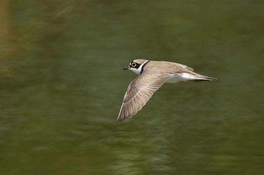 ●コチドリ(チドリ目、チドリ科。全長16㎝。ピオとやさしい声で鳴き、繁殖期には、飛びながらピッピッピッと続けて鳴く。)