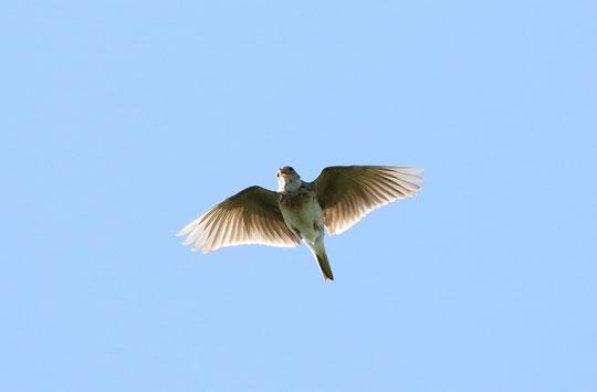 ●飛翔するヒバリです。ピーチュルピーチュルと囀っているのでしょう。