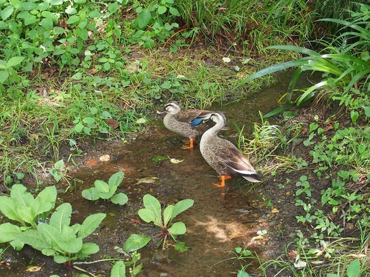 6月26日(2015)湧き水の流れてくる場所:6月20日、野川公園・自然観察園にて。早春には水芭蕉の花も咲く場所にカルガモが2羽たたずんでいました