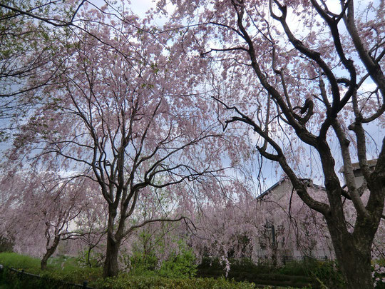 枝垂桜の下。花におおわれて美しさに呆然
