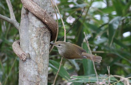 ●春告げ鳥の鶯(ウグイス)。2月21日、深大寺の近くで撮影