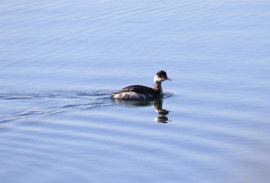 12月11日(2016) 多摩川で出会った鳥、ハジロカイツブリ:三鷹市在住の武田さんのご投稿写真。くわしくは、ご投稿の頁をご覧ください