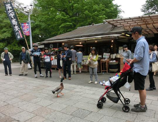 5月3日(2016) カモのおさんぽ:5月2日、深大寺参道にて。歩き慣れているのか、人の中をゆうゆうとお散歩していました