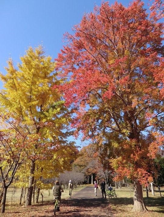 11月23日(2014) 赤と黄色(色づいた木々):武蔵野公園の苗圃にて