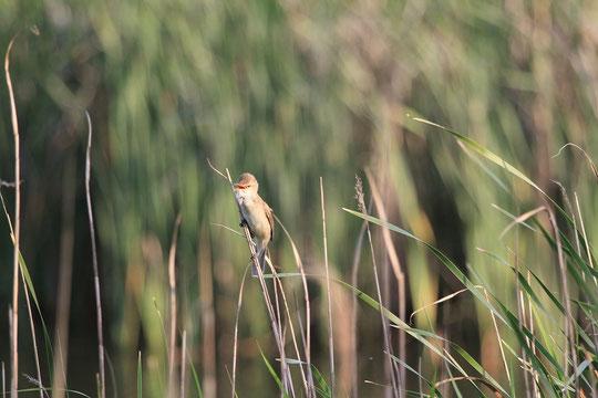 ●オオヨシキリ:スズメ目ウグイス科、日本に夏期に飛来する夏鳥