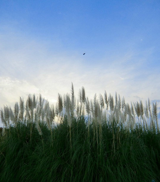 11月30日(2012) パンパスグラスと鳥(神代植物公園・芝生広場にて)