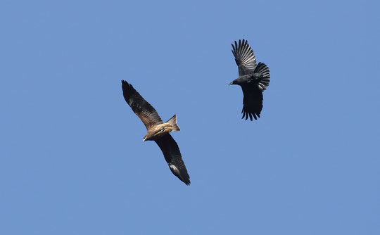 ●トビとトンビのレクリエーション -野川公園・自然観察園の上空-