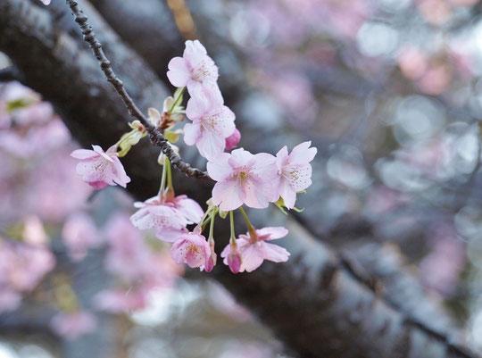 3月8日(2019) 早咲きのサクラ:ソメイヨシノの東京での開花予想は現在のところ3月21日ですが、種類によっては、もう咲き始めているサクラもあります。写真は、多磨霊園の中で見かけたもので、オオカンザクラと思われます。