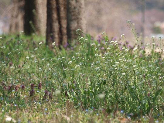 4月3日(月)風にゆれるペンペングサ:春の七草のひとつ、アブラナ科のナズナ。別名がペンペングサ。近くには、オオイヌノフグリやヒメオドリコソウも咲いていました。武蔵野の森公園にて