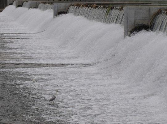6月29日(2014) 取水堰に立つサギ:多摩川・調布にて6月27日に撮影