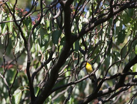 ●ミズキにキビタキ:多磨霊園のミズキの木で実を食べていたところ(10月19日撮影)