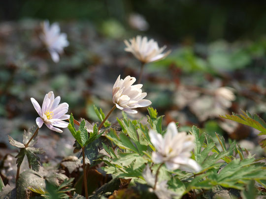 3月19日(2017)春の妖精:キンポウゲ科のキクザキイチゲ(菊咲一華)。春先に一輪だけ花をつけ、その後地上部は枯れて翌春まで地下で過ごす春植物(スプリング・エフェメラル)のひとつ。調布市野草園にひっそりと咲いていました
