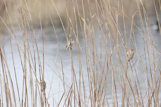 ●オオジュリンが3羽