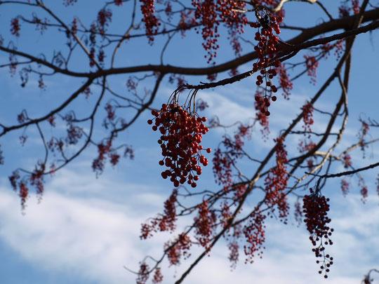 12月10日(2016) 冬空にイイギリの実:大きなイイギリの木に赤い房のような実がたくさん付いていました。葉がすっかり落ちたので、遠くからも目立ちます(野川公園にて、12月3日に撮影)