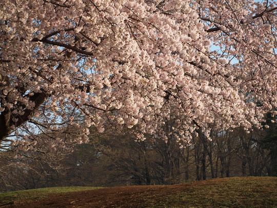 4月6日(2017) サクラと雑木林:野川公園のサクラも満開になりました。大芝生広場と梅林の間にある小山の下から眺めた景色です。房状のサクラが朝日に輝いていました