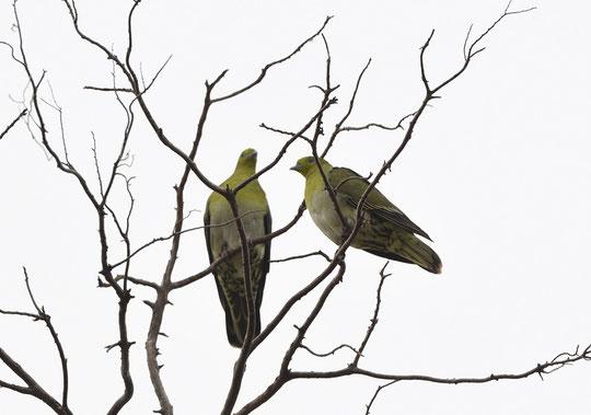 ●アオバト:ここでは2015年2月20日以来5年ぶりの登場です。海水を飲む珍しい鳥で神奈川県の大磯町などで見られますが、この地域に居るのは不思議ですね。