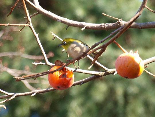 12月26日(2015) 柿の実の朝ごはん:柿の実を食欲旺盛についばんでいたメジロ(野川公園にて)
