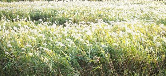 ●サイクリングロードでは、河川敷のススキの群生に遭遇。夕方近くになったので、穂が光りだしました
