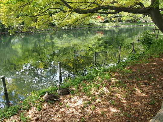 4月24日(2017)新緑の公園:新緑に彩られた井の頭恩賜公園池のほとりです。2羽のカモがまるで木の置物のようにじっとたたずんでいました