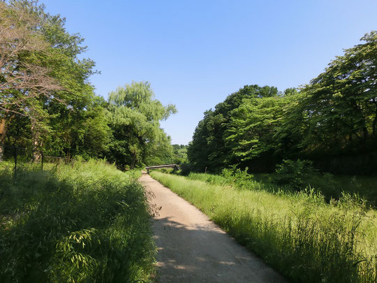 5月19日(2017) 新緑の野川遊歩道:都立野川公園の中を通る野川遊歩道。桜橋のほうからくぬぎ橋に向って見たようす。土の道のわきには雑草も伸びて、東京とは思えない自然ですね。