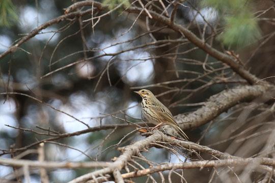 ●樹上のビンズイ。場所は、コッツウォルズの森とのこと。1月中旬の撮影です。