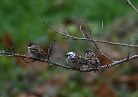 ●注目のスズメも他の鳥と仲良く並んでいます。