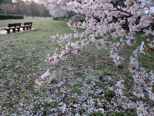 桜散る野川公園からスタート