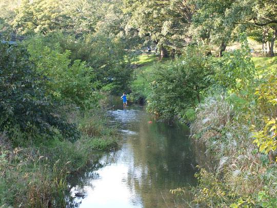 ●ワイルドな野川:かしのき橋の上から。川べりに草木が生い茂りいつもよりワイルド感アップです。