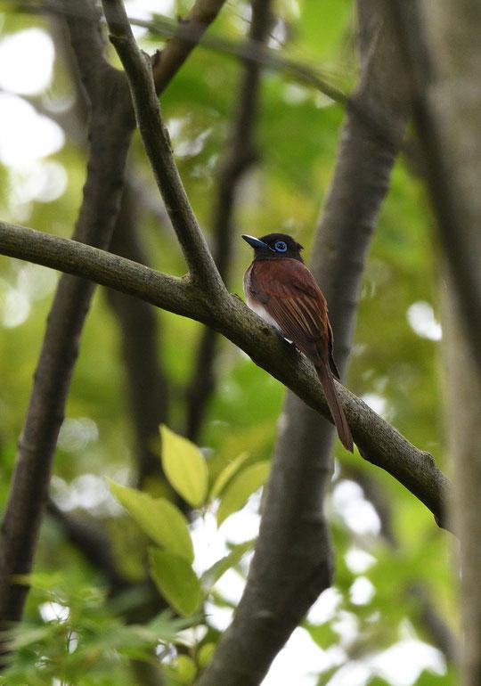 ●サンコウチョウ:なかなかお目にかかれない珍しい鳥ですが、外見はやさしそうで親しみを感じますね。