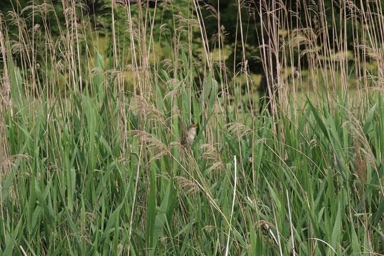 ●武蔵野の森公園・修景池のオオヨシキリ