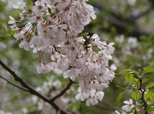 ●オモイガワ(思川):一重。半八重の可憐な桜。栃木県に流れる川が品種名。