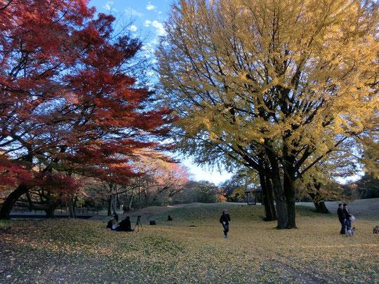 12月7日(2015) 赤(モミジ)と黄(イチョウ):野川公園のもみじ橋の近くで、12月5日に撮影